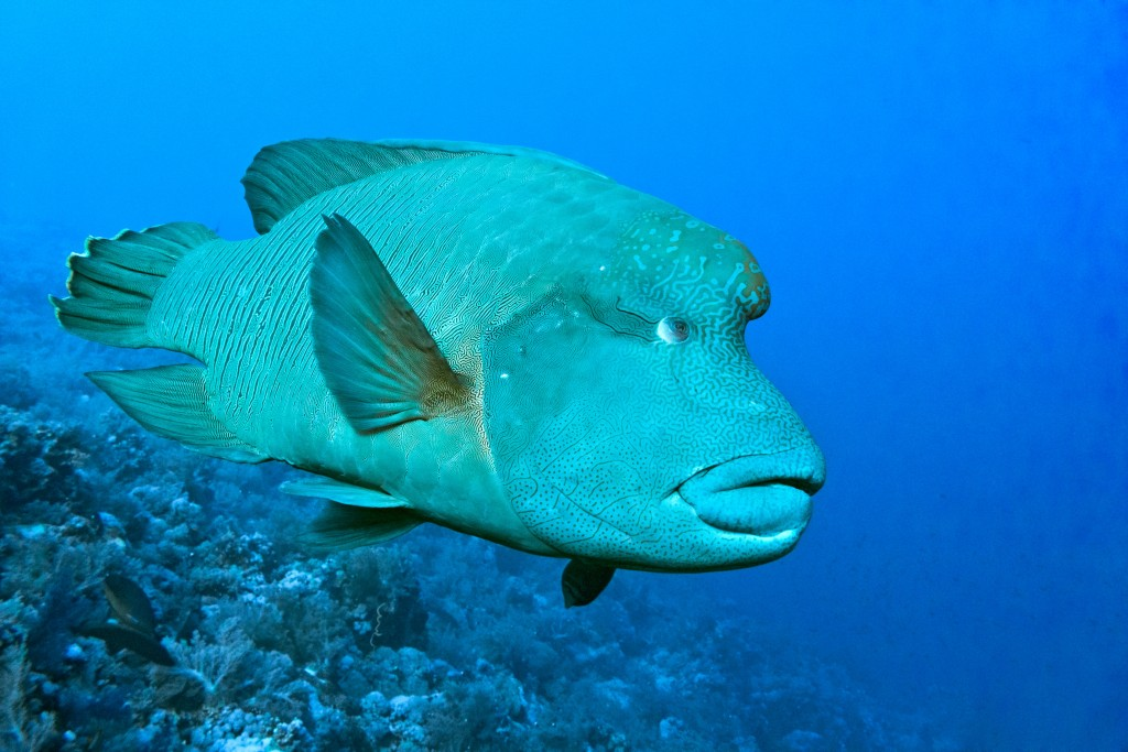 7 Days Sailing And Diving The Red Sea - Napoleon Wrasse